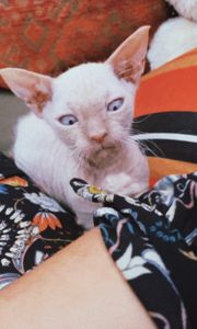 Albino Sphynx Mädchen sucht eine