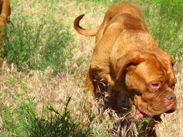 Bordeaux Doggen Hündin mit Stammbaum