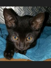 Chocolate Oriental Shorthair