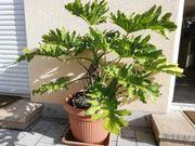 Sehr seltener Baum-Philodendron sehr groß