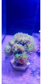 EUPHYLLIA PARAANCORA BICOLOR meerwasser Korallen