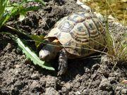 SUCHE weibl maurische tunesische Landschildkröte