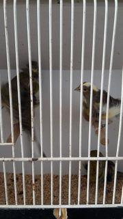 Fiorino Kanarienvögel