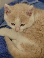 Kleiner Kuschelkater 8 Wochen alt
