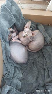 sphynx katzen Geschwister