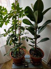 2 mittel Große Zimmer Pflanzen