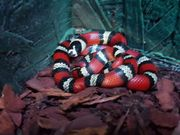 7 Königsnatter Lampropeltis abnorma honduras