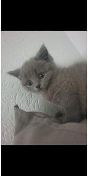 bkh kitten absofort abzugeben