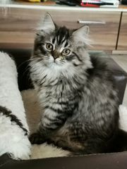 Ab sofort - Maine Coon Kitten -