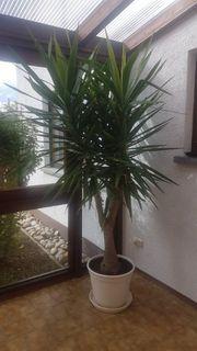 Yucca Palme ca 260 cm