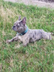 Seltene farbe Französische bulldogge hündin