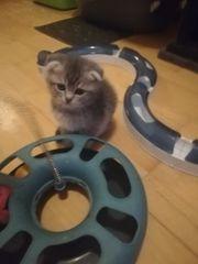 Wunderschöne Schottish Fold Kitten