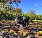 Graue Schäferhund Welpen mit geradem