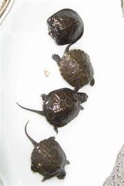 Europäische Sumpfschildkröten