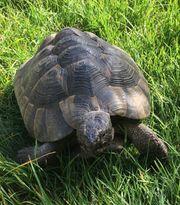 Maurische Landschildkröten Testudo graeca Zuchtpaar