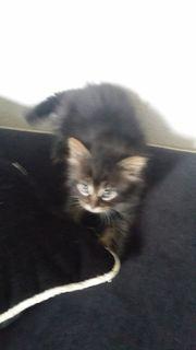 Main coon mix Babykatzen