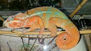 Chamäleon Panther Furcifer pardalis Ambilobe