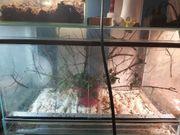 Stabheuschrecken mit Terrarium