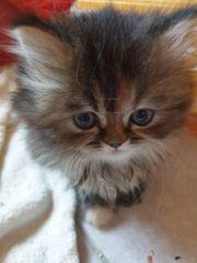 Perser Mainecoon Kitten
