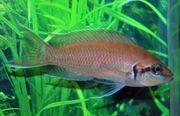 Aquarum Fische