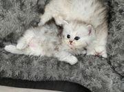 Bkh Kitten - British Langhaar Scottish