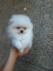 Pomeranian Zwergspitz Welpen zum Verlieben