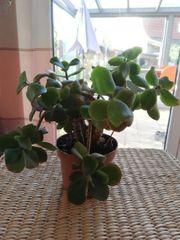 Pflegeleichte Zimmerpflanze Sukkulente Crassula