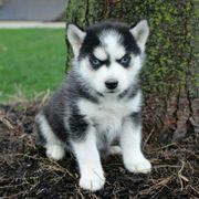 Husky welpen Suchen eine neues