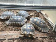 erwachsene weibl Breitrandschildkröten und 3