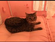Vermisst - Tigerkatze in Schwarzach