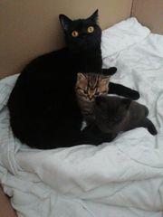 Zwei wunderschöner kitten mix BKH