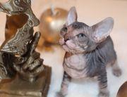 Reinrassige Don Sphynx Kitten