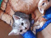 Scottish Fold Babykatzen