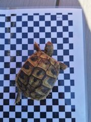 landschildkröten Nachzuchten testudo hermanni boettgeri