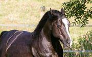 Deckanzeige Black Quarter Horse Hengst