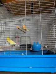 Ich verkaufe meinen wunderschönen Kanarienvogel