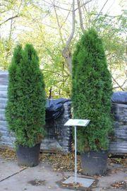 Heckenpflanzen Lebensbaum