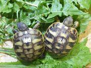Griechische Landschildkrötenbabys suchen neues Zuhause