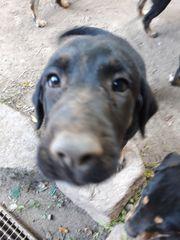 Gesunder schöner Labrador Mix Welpe