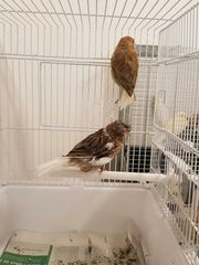 Kanarien vogel ab 2021 Halbgloster