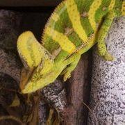 Wunderschöne gelbe Jemen Jemenchamäleon Chamöleon