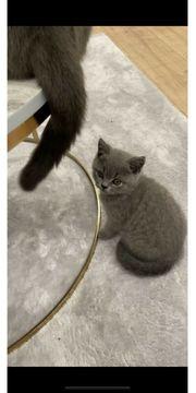 BKH Kitten 1 Junge noch