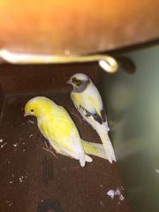 Kanarienvogel Kanarien