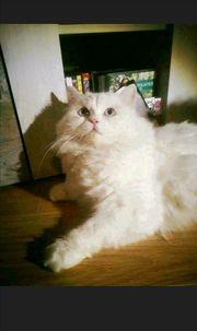 weiße Kitten Perserkitten Türkisch Angora