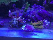 Korallenableger Montipora Acropora Milka Fungia