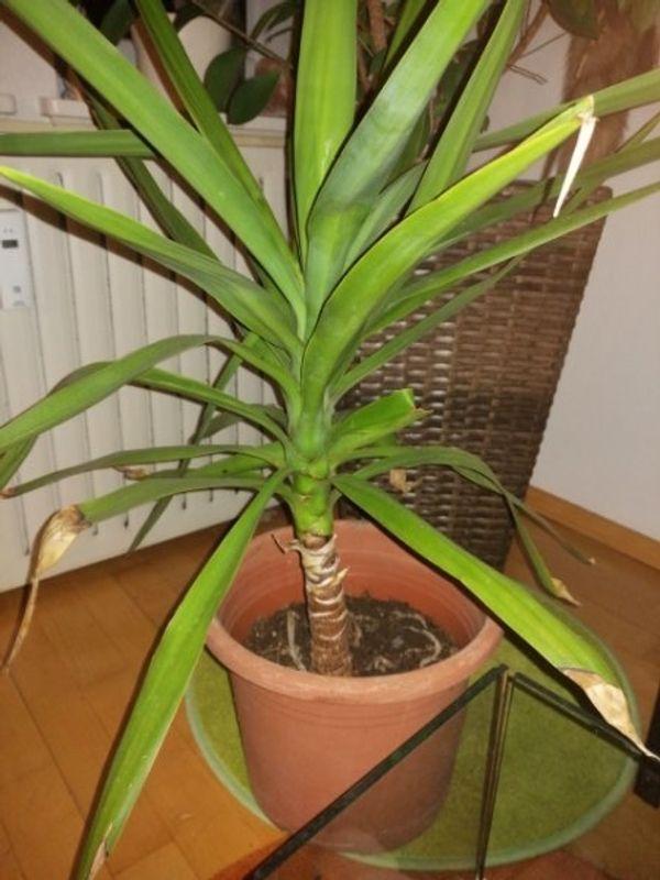 Palme 100 cm Indoor und
