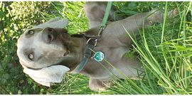 Weimaraner Deckrüde VHB: Kleinanzeigen aus Rastatt - Rubrik Hunde