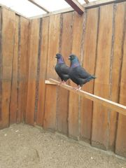 1 Paar Kingtauben King Tauben
