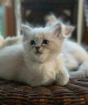 Wow zuckersüsse Edelmix-Kätzchen Masquarade Sibirische
