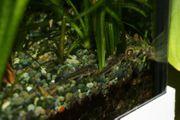 Aspidoras spilotus - Gefleckter Schmerlenpanzerwels Welse
